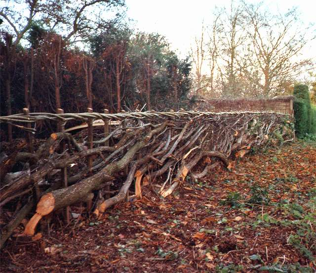 <span>Ref: C3</span><br>Hedgelaying rejuvenates old hedges, allowing more fresh growth.