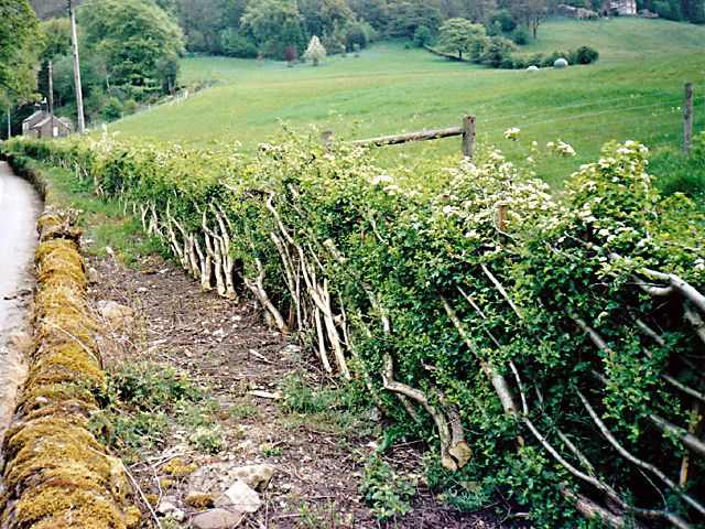 <span>Ref: C4</span><br>Expected regrowth during spring after this hedge has been layed.