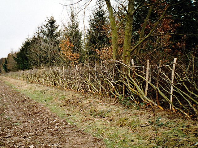 <span>Ref: C7</span><br>Now this hedge has been layed, light can reach the woodland floor and it is now easier to trim the hedge to this height.