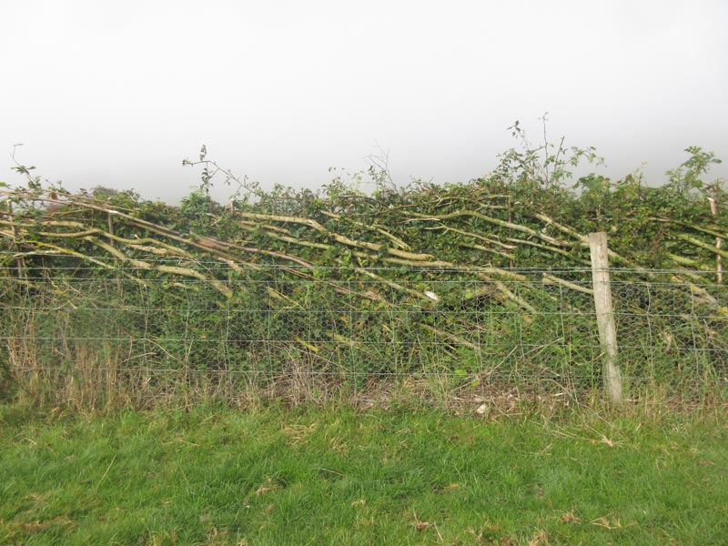 <span>Ref: C9</span><br>Early spring growth thickens this hedge so you can barely see through; it is now fully stock proof for Chatsworth Estate, Derbyshire.